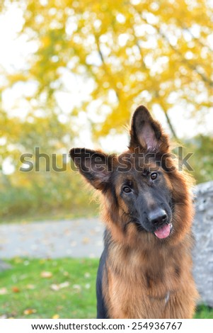 Long haired german shepherd dog - stock photo
