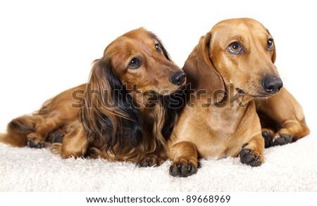 long haired miniature dachshund and standard  dachshund - stock photo