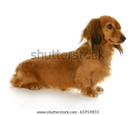 long haired miniature dachshund sitting with reflection on white background - stock photo
