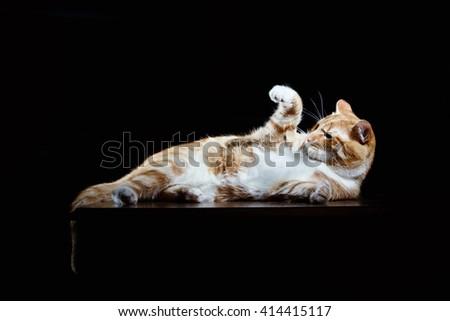 Long-Haired Orange Cat Lying Down on Isolated black background - stock photo