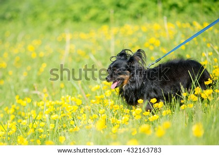 Long-haired small dog yellow flowers in the meadow.Long-hair Chihuahua dog outdoor portrait. - stock photo