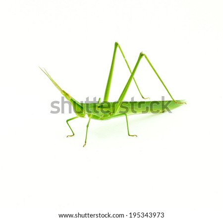 Long head Grasshopper on white background - stock photo