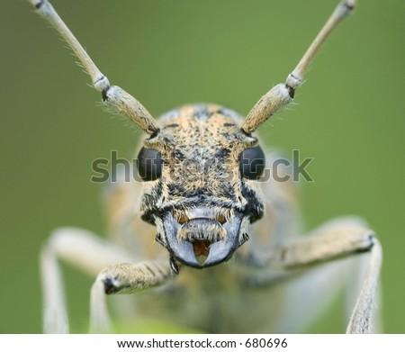 Long-Horn Beetle: Cerambycidae - stock photo