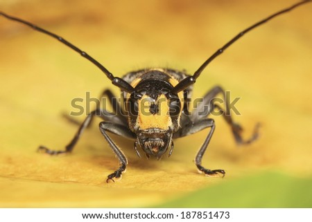 Long horned Beetle on yellow leaf - stock photo