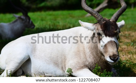 Long horned oryx rests in the zoo on a sunny day - stock photo