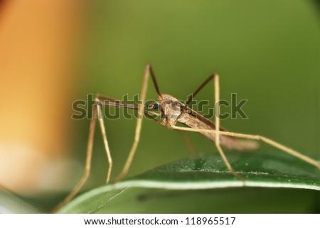 Long Legged Fly - stock photo