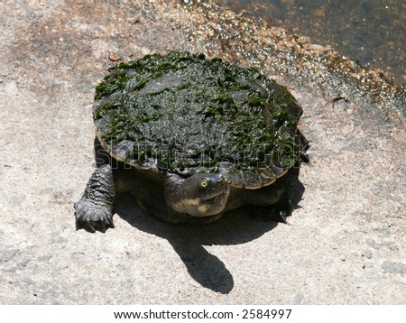 long necked turtle - stock photo