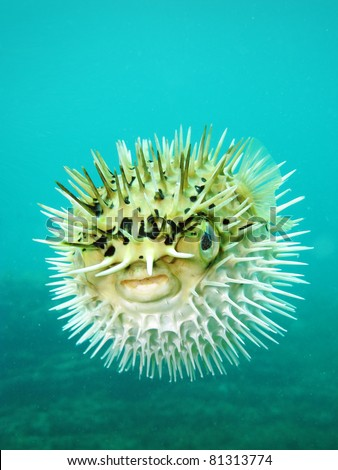 Long-spine porcupinefish also know as spiny balloonfish - Diodon holocanthus - stock photo