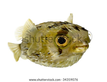 Long-spine porcupinefish also know as spiny balloonfish (fish) - Diodon holocanthus in front of a white background - stock photo