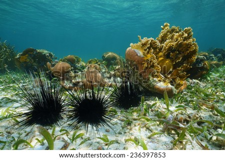 Long spined sea urchins underwater on seabed of the Caribbean sea - stock photo