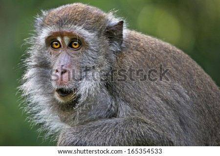 Long-tailed or Crab-eating Macaque (Macaca fascicularis) stares with yellow eyes & fills cheek sacs with food in the jungles of Borneo. These cheek pouches are used to store food while foraging. - stock photo