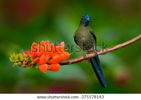 Long-tailed Sylph, Aglaiocercus kingi, rare hummingbird from Colombia, gree-blue bird sitting on a beautiful orange flower, action feeding scene in tropical forest, animal in the nature habitat - stock photo