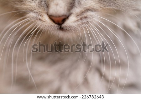 Long white whiskers and nose of a gray cat. - stock photo