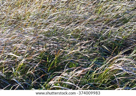 Long wild grass swaying in the breeze on a tropical island - stock photo