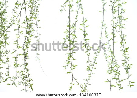 long willow branch in spring season - stock photo