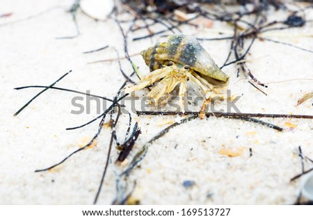 Long-wristed hermit crab  crawling on the sandy beach of Florida, USA - stock photo