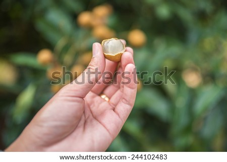 Longan fruit cultivars  - stock photo