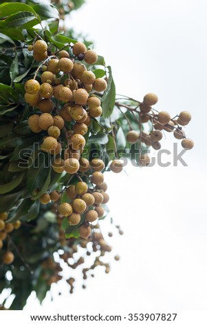 longan tropical fruit on tree with rain in farm agriculture - stock photo