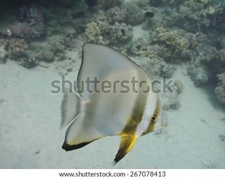 Longfin batfish (Platax teira) fish swimming in the tropical sea near the coral reef underwater - stock photo
