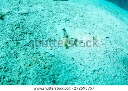Longfin snake-eel hiding in the sand bottom - stock photo