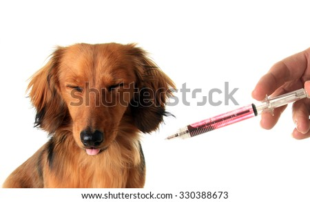 Longhair dachshund puppy does not want medicine from a syringe.  - stock photo