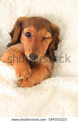 Longhair dachshund puppy in bed, winking.  - stock photo