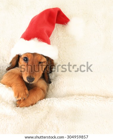 Longhair dachshund puppy, wearing a Christmas Santa hat,  in bed, winking.  - stock photo
