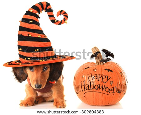 Longhair dachshund puppy, wearing a Halloween witch hat, next to a pumpkin.  - stock photo