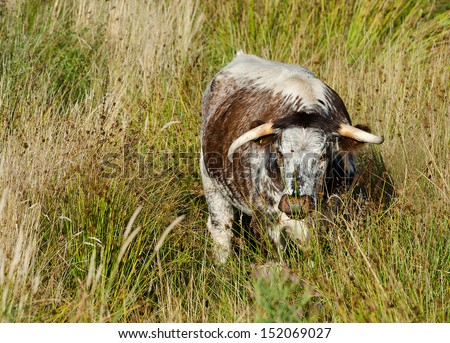 Longhorn - stock photo