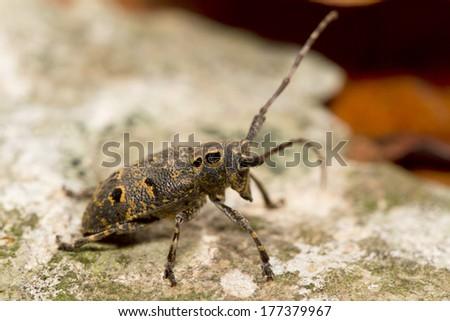Longhorn beetle Mesosa curculionoides on bark in nature - stock photo