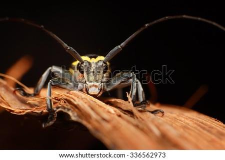 Longhorn Beetle. Selective Focus on eyes. Shallow DOF. - stock photo