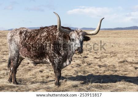 Longhorn Bull in Field - stock photo