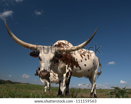 Longhorn cow  home on the range just west of Edmonton, Alberta Canada.  These animals are descendants of stock imported from Texas in the 1960s.  They've been a boon to Alberta's agricultural industry - stock photo