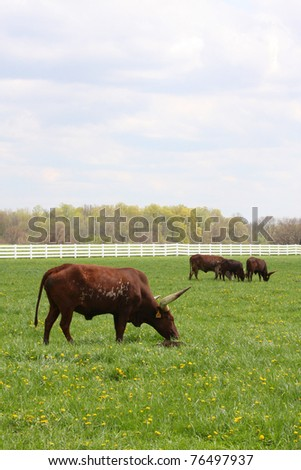 Longhorn steers grazing in a pasture of green - stock photo