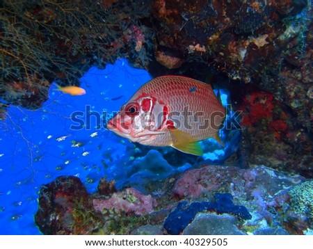Longjawed squirrelfish. (Sargocentron spiniferum) Taken at Marsa Bareika in Egypt. - stock photo