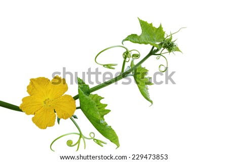 Loofah luffa Flower and Leaf isolated on white background - stock photo