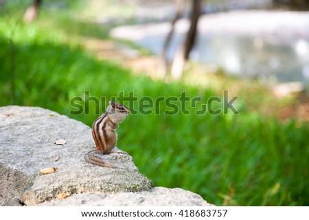Look how cute the chipmunk is! chipmunk cheeks full. - stock photo
