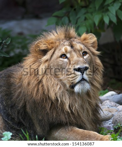 Look up of an Asian lion, lying among rocks and greenery. The King of beasts, biggest cat of the world. The most dangerous and mighty predator of the world. Wild beauty of the nature. - stock photo