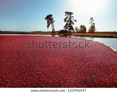 Looking across a cranberry bog toward the natural landscape in the distance at sunset on an October evening. - stock photo