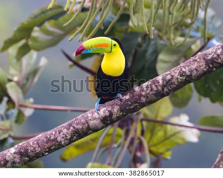 Looking At You...This beautiful Keel billed Toucan is having a bite to eat.  Taken in the wild in Costa Rica in the jungle rain forest near Arenal Volcano - stock photo