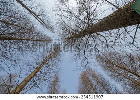 Looking cedar forest in winter - stock photo