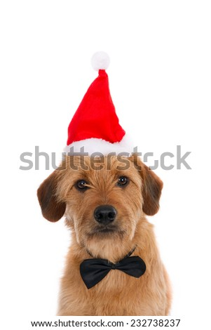Looking crossbreed with Santa hat and tie bow, isolated on white - stock photo