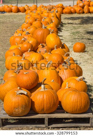 looking down a row of pumpkins - stock photo