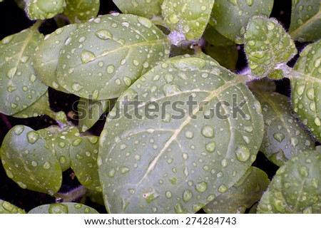 Looking down at young sacred hopi indian tobacco plants after a rain. - stock photo