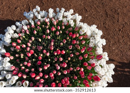 Looking down on a grouping of beautiful and delicate pink and white tulip blooms in the morning light on an Oregon farm. - stock photo