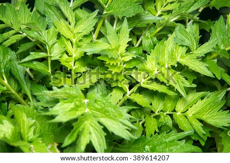 Looking down on lush Valerian plant growing in garden, root is used as medicine. - stock photo