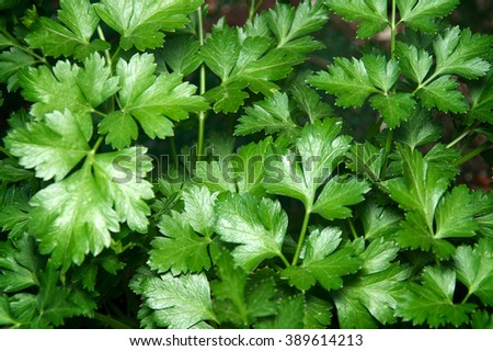 Looking down on the vibrant green leaves of the flat italian parsley plant. - stock photo