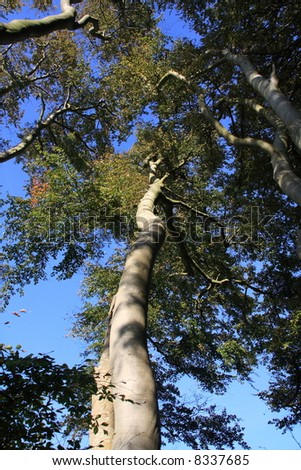 Looking up a silver birch tree canopy - stock photo