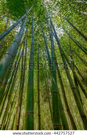 Looking up at a tall grove of Bamboo trees - stock photo