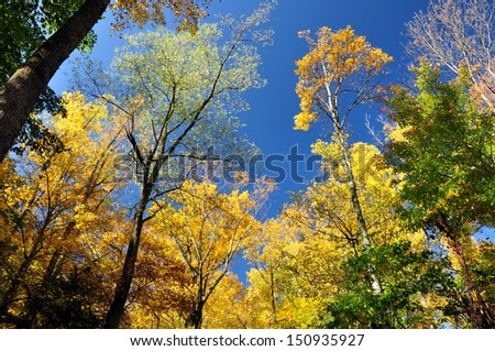 Looking up at autumn trees. - stock photo
